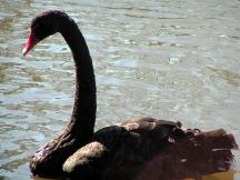 Furman swans
