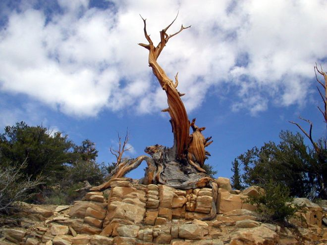 oldest-bristlecone-public-domain-mark-wilson