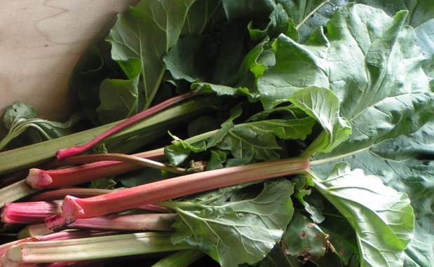 Recipes: Rhubarb Syrup and Rhubarb Soda