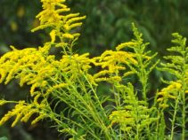 Goldenrod--this is not the plant that causes allergy-sufferers so much trouble in fall. That one is ragweed.