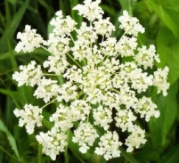 Queen Anne's lace, aka wild carrot. Both root and flower are edible.