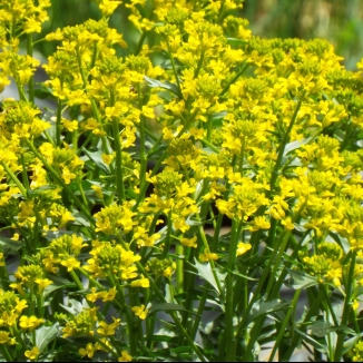 Wild mustard--leaves and flowers are edible.