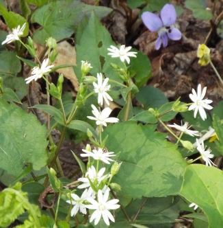 Star chickweed with purple violet. Both are edible. We also have yellow and white violets.