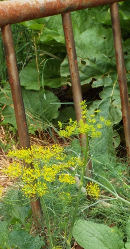 "Some of the dill in our herb ""bed"" is flowering. (Rhubarb in background)"
