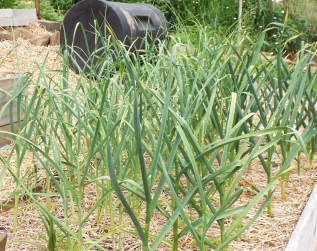 Garlic will be ready to harvest next month. (Compost tumbler in background)