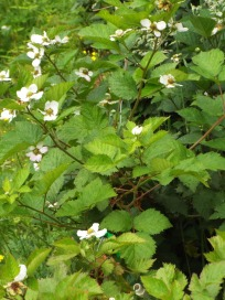 Blackberry flowers--we're adding more and more fruit plants to our garden.
