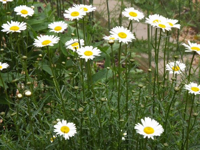 We grow flowers in the veggie garden to encourage pollinators, but these wild daisies are a natural occurrence. I just love them.