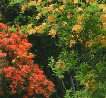 Two wild azalea colors side by side